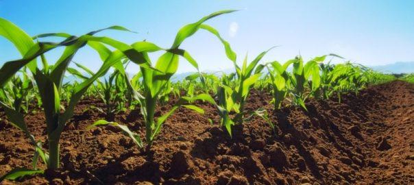 удобрения для сахарной кукурузы