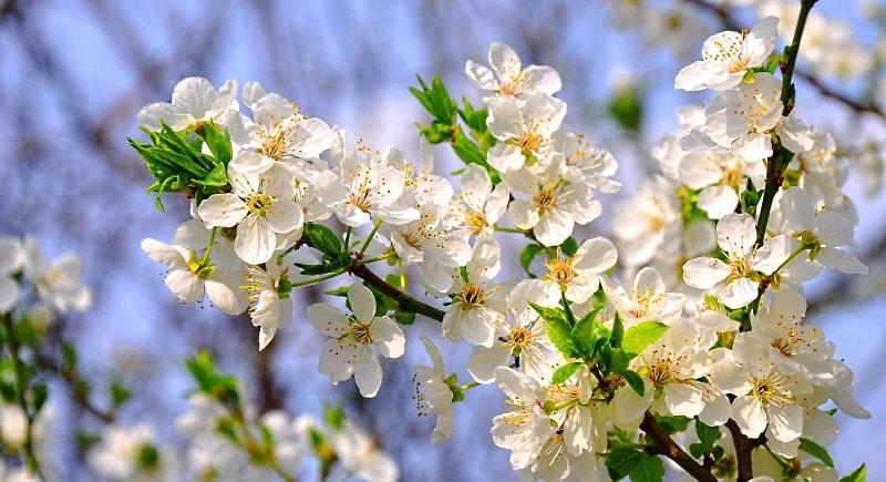 удобрение сливы весной