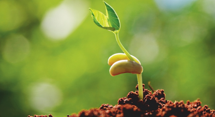 Сок алоэ как стимулятор роста для растений