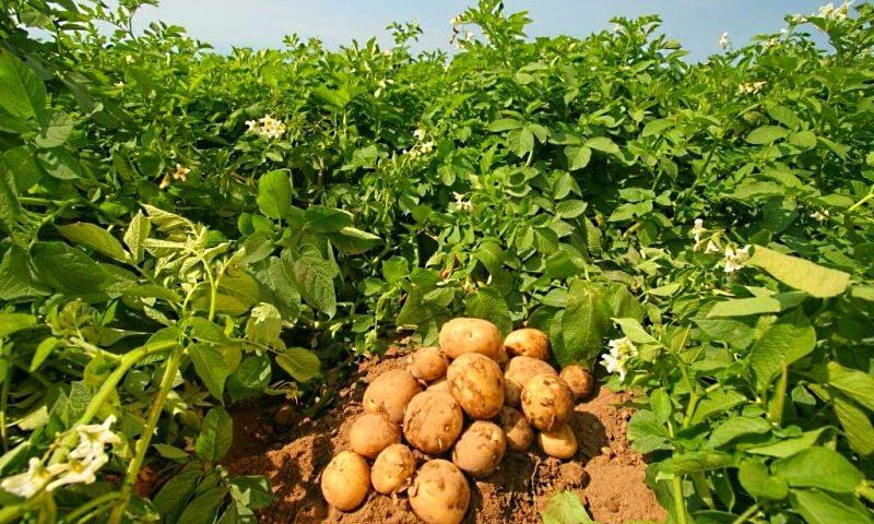 древесная зола как удобрение для картофеля