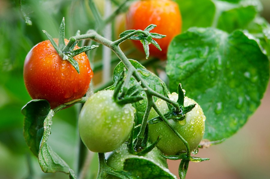 удобрения помидоров и огурцов