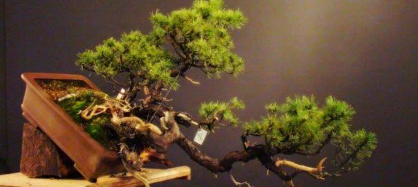 Ямадори: охота на бонсай