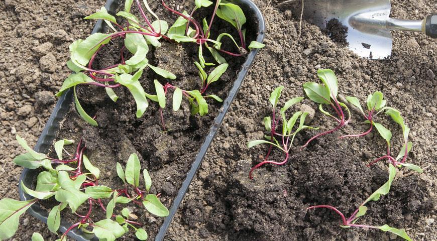 Выращивание свеклы