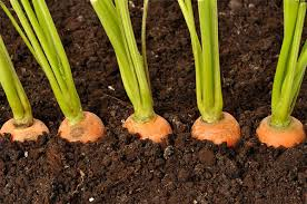 Чем и как правильно подкармливать морковь