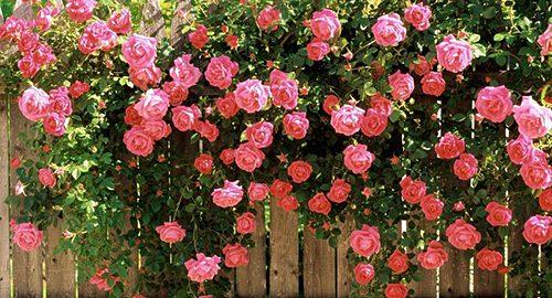 kogda-i-kak-udobryat-rozy