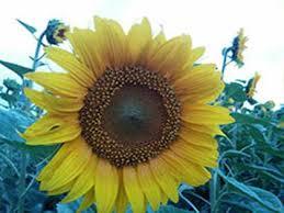 Что учесть при выборе семян подсолнечника