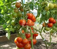 kakoj-vybrat-sort-tomatov-dlya-vyrashhivaniya-na-ogorode